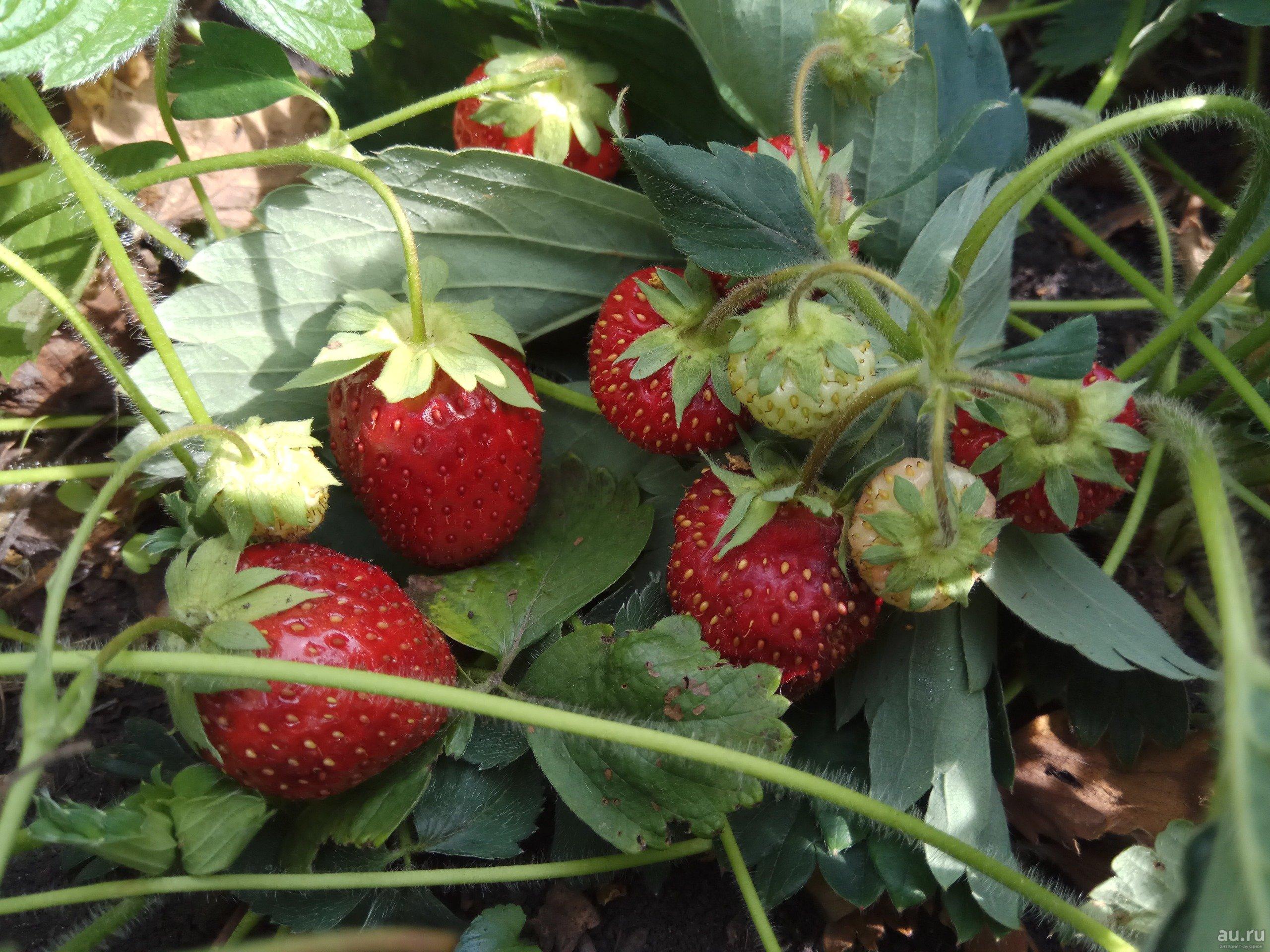 Клубника зенга зенгана - описание сорта, фото, отзывы садоводов
