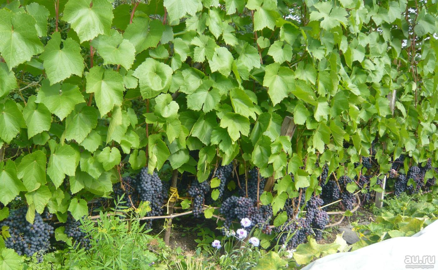 Почему не плодоносит виноград