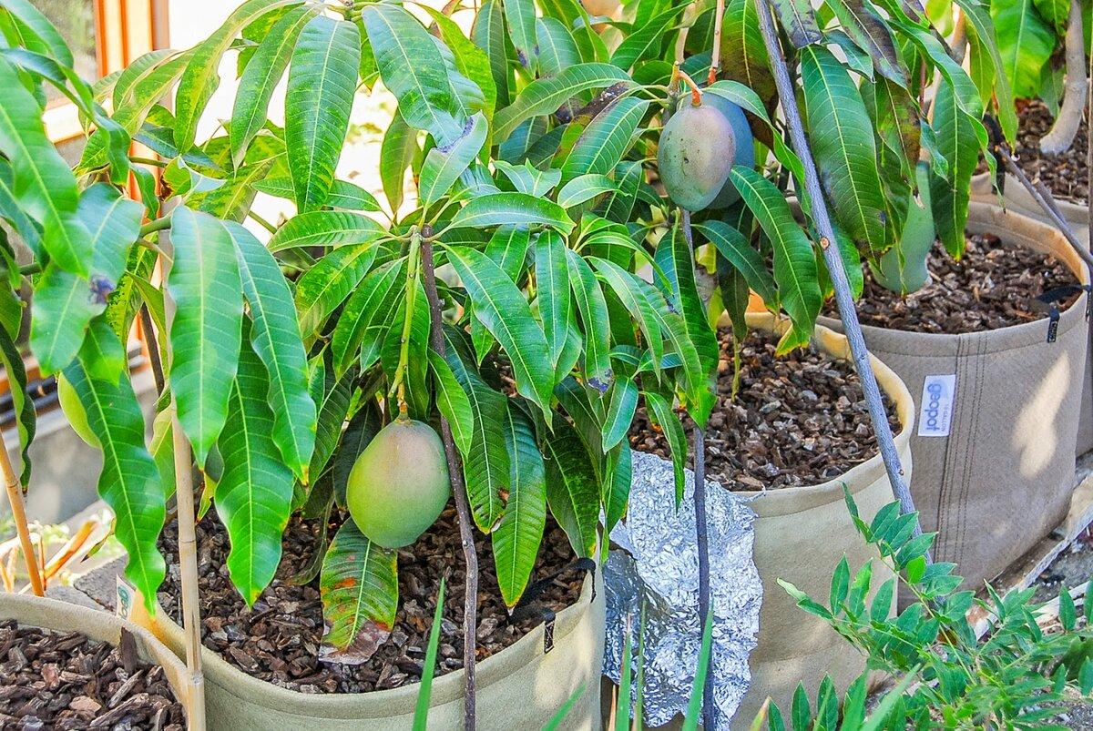 Как выращивать манго из косточки в домашних условиях в горшке: можно ли посадить фрукт из семечки и как правильно это сделать, как ухаживать, а также фото selo.guru — интернет портал о сельском хозяйстве