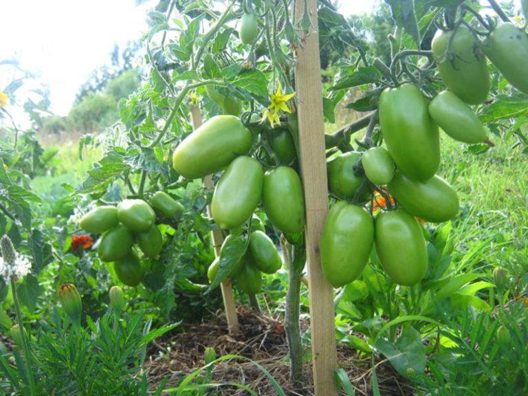 Томат челнок - описание сорта, характеристика, урожайность, отзывы, фото
