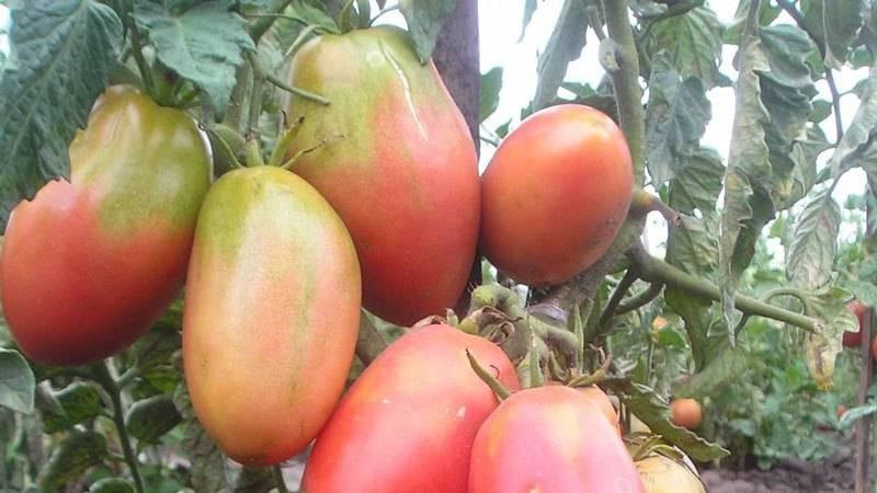 Изобильный томат «машенька», даст отличный урожай, даже при выращивании начинающим огородником