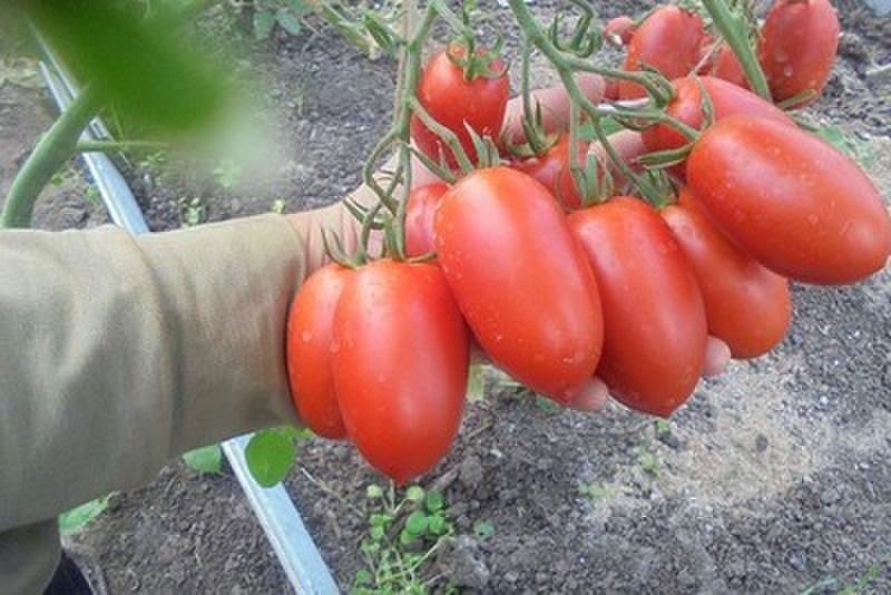 Томат «гераниум кисс»: описание сорта, характеристика и агротехника посадки, ухода и выращивания за помидором (фото)