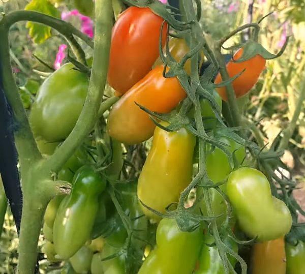 Томат фляшен – характеристика и описание сорта, фото, урожайность, выращивание, видео