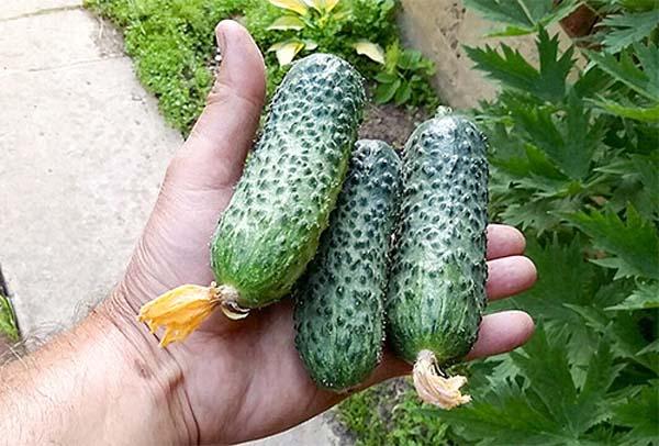 Для засолки и салатов выбирайте урожайный огурец пасалимо f1
