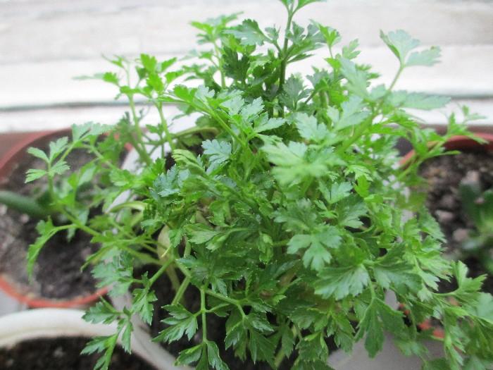 Как выращивать петрушку на подоконнике: посадка, выращивание, уход