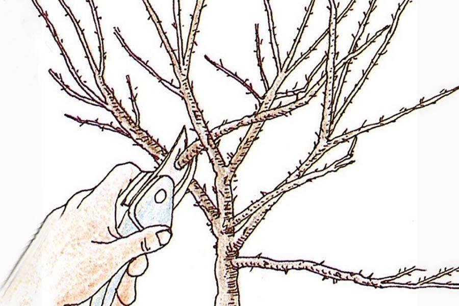 Обрезка крыжовника весной: простая схема для начинающих