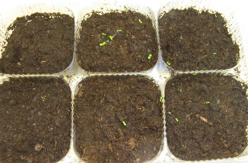 Малина из семян в домашних условиях