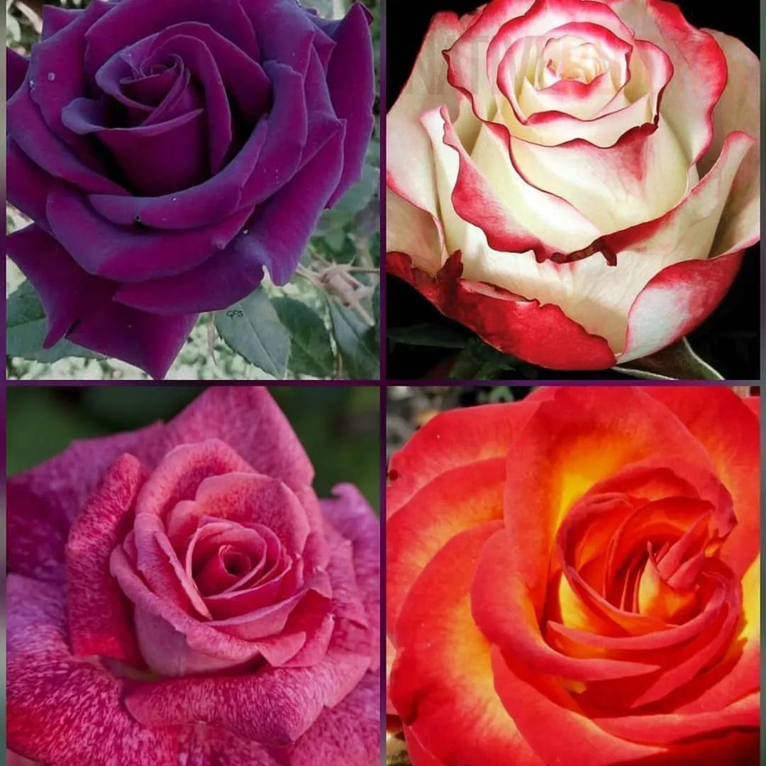 12 лучших сортов плетистых роз