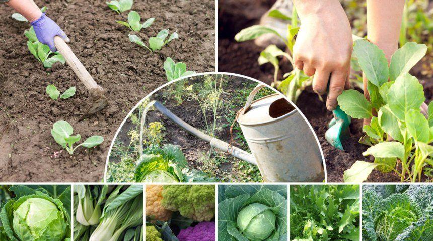Как поливать капусту в открытом грунте: под корень или сверху