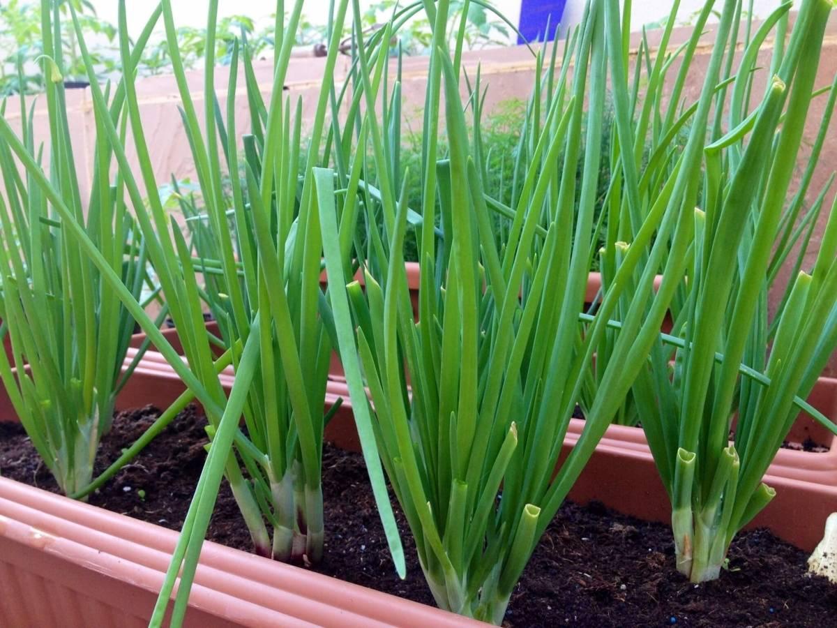 Название, описание и урожайность лучших сортов лука для выращивания