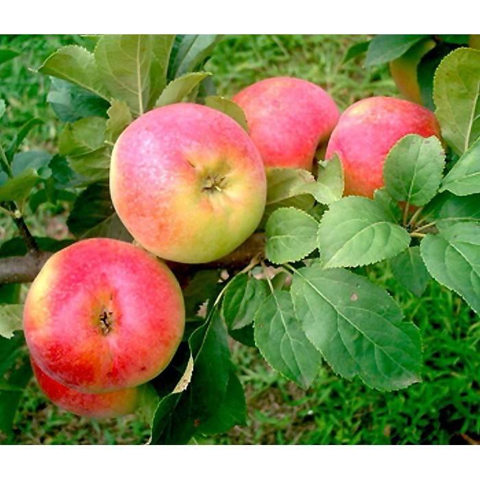 """Яблоня """"коробовка"""": описание сорта, фото, отзывы"""