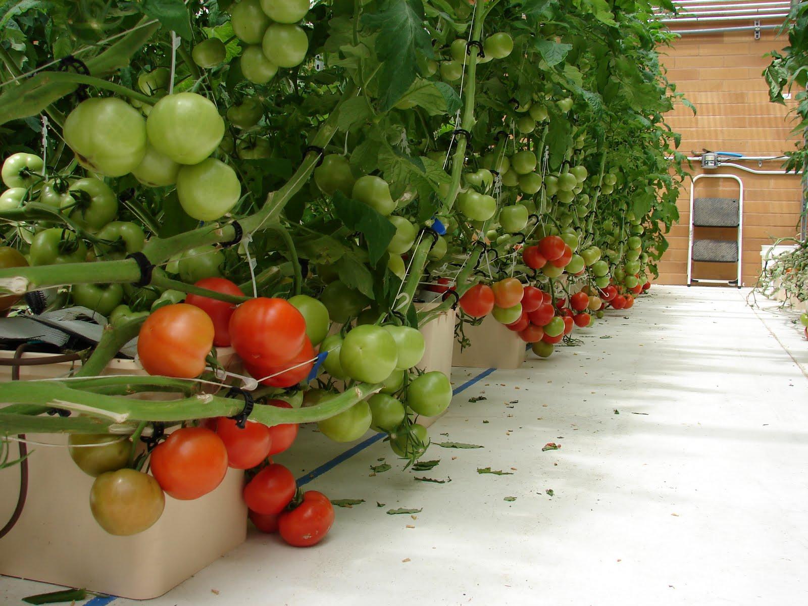 Гидропонные установки для выращивания томатов