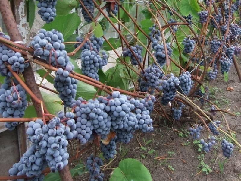 Виноград зилга: характеристики, уход, выращивание + фото и видео
