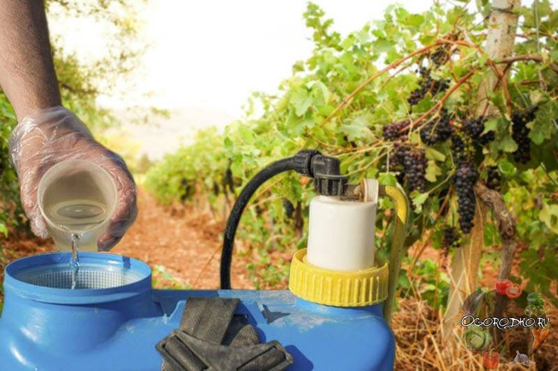 Обработка винограда в апреле 2019 - подробное описание самых опасных вредителей и угроз с фотографиями больных растений, наиболее эффективные способы защиты винограда от них   спутниковые технологии