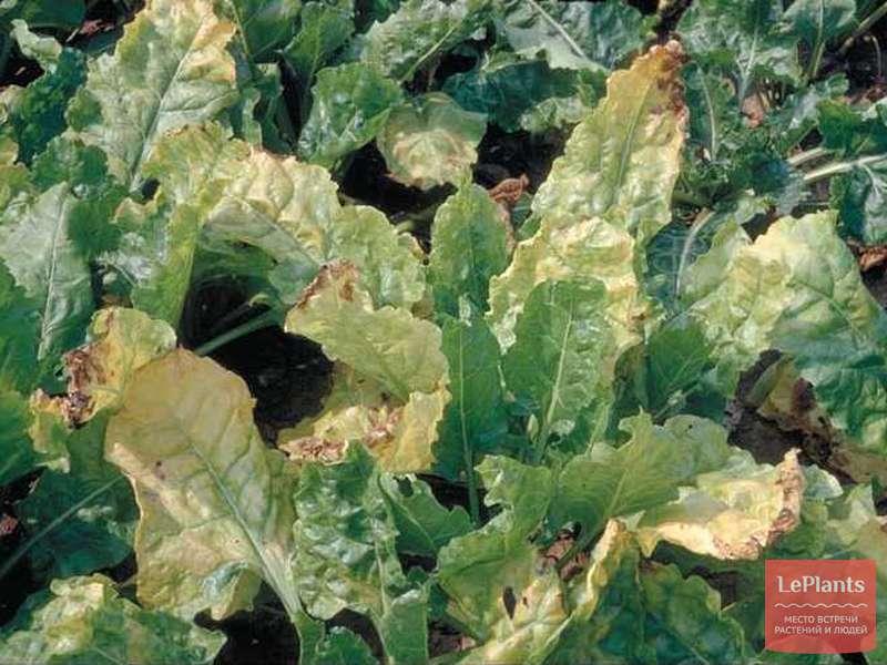 Желтая листва у свеклы: основные причины и что делать