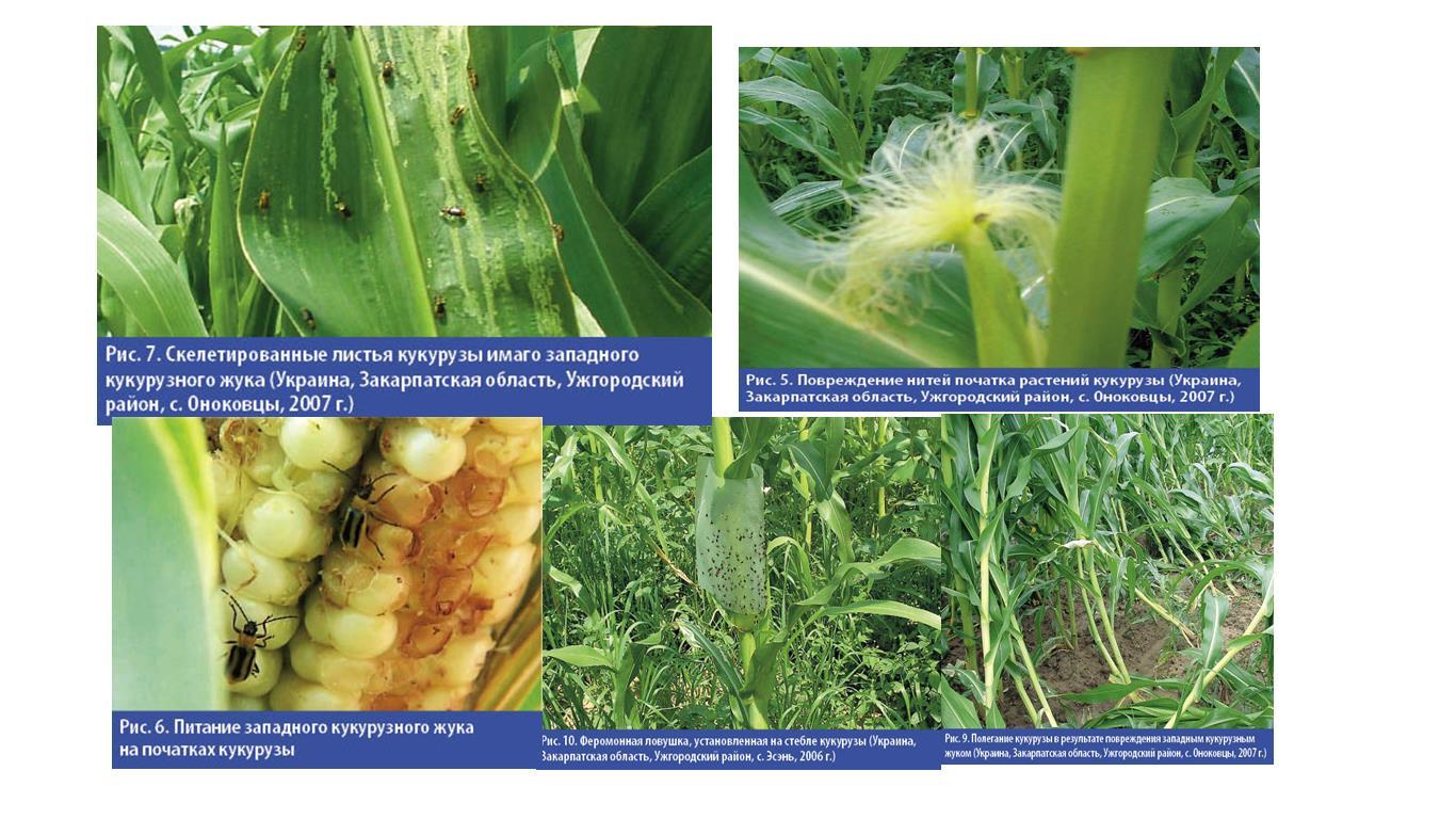Защита кукурузы от основных вредителей и болезней