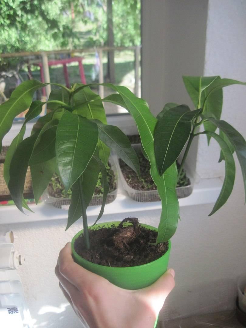 Дерево манго – как выглядит и цветет, можно ли вырастить их косточки, как правильно посадить и ухаживать?