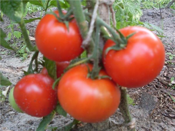 Детерминантные помидоры: лучшие сорта для теплицы. 110 фото и видео советы по выращиваю