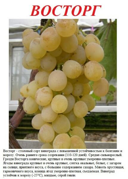 Виноград антоний великий: описание, фото, видео и отзывы