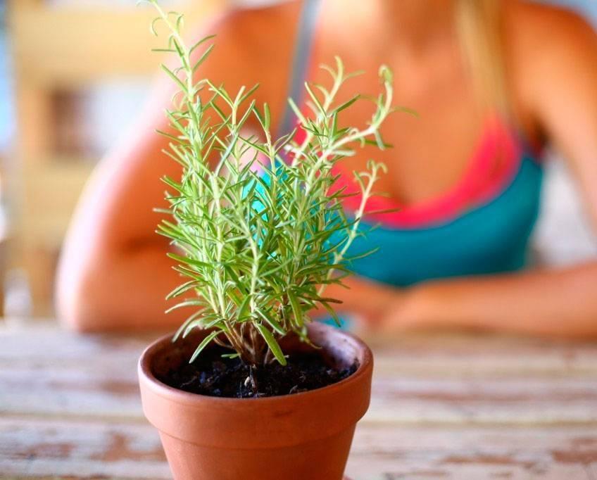 Как вырастить дома розмарин - ввыращивание и уход