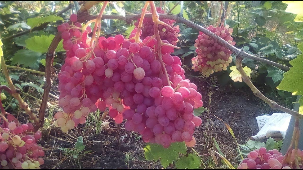 Виноград юбилей новочеркасска: особенности сорта и тонкости выращивания