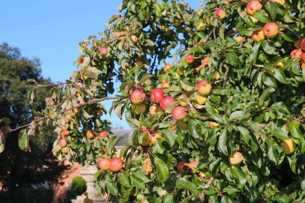 Ситуации, когда яблони не растут, что делать? советы профессиональных садоводов