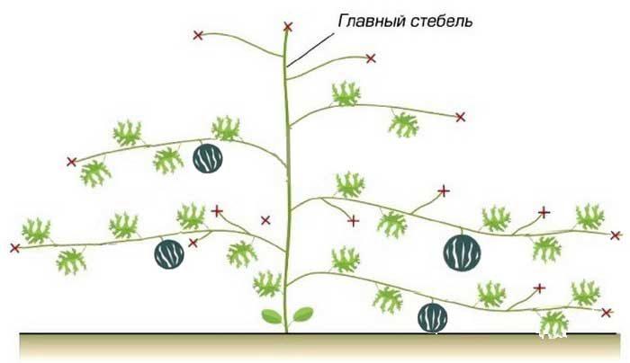 Как прищипывать арбузы: схемы формирования в теплице и открытом грунте