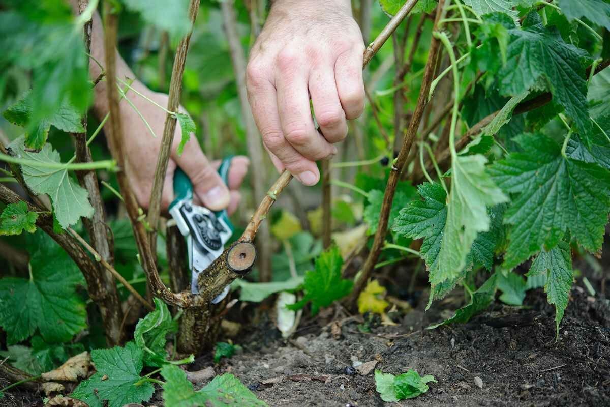 Как обновить куст черной смородины
