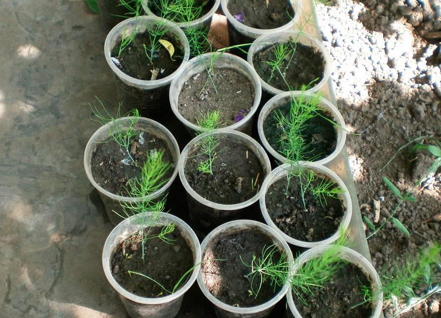 Спаржа — ранний овощ. выращивание из семян. посадка и уход. фото — ботаничка.ru