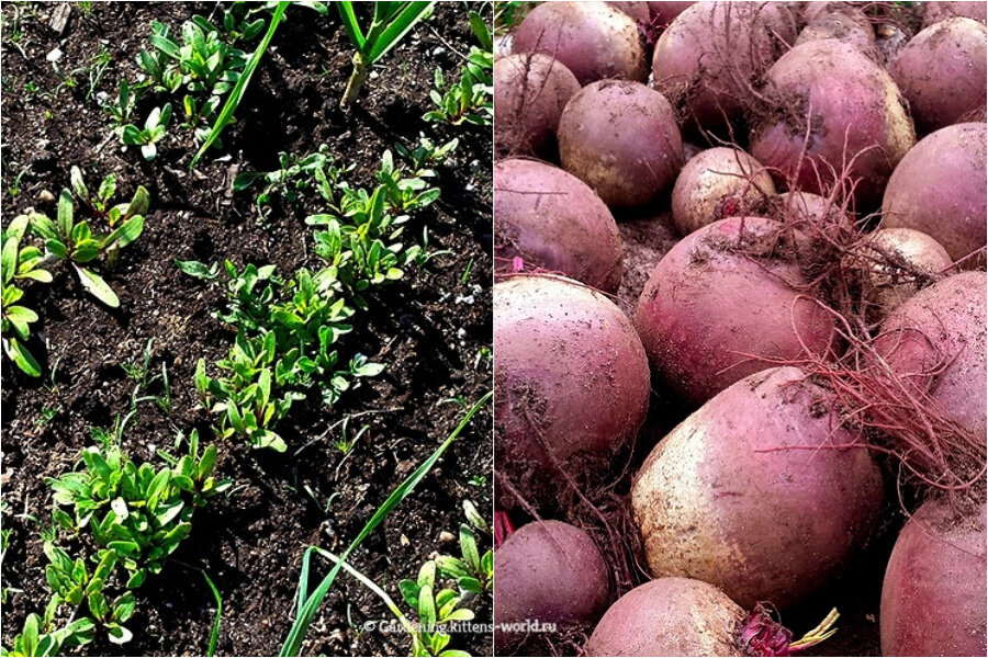 Свекла посадка и уход в открытом грунте: от выбора сорта до урожая