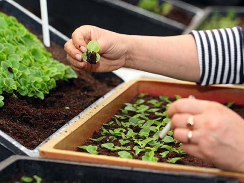 Выращивание из семян и уход за базиликом в открытом грунте, болезни и сбор урожая