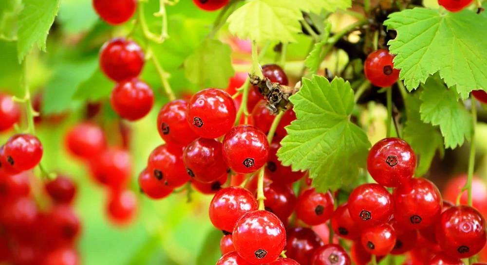 Сорт смородины красной красная ранняя, описание сорта с характеристикой и отзывами, а также особенности посадки и выращивания
