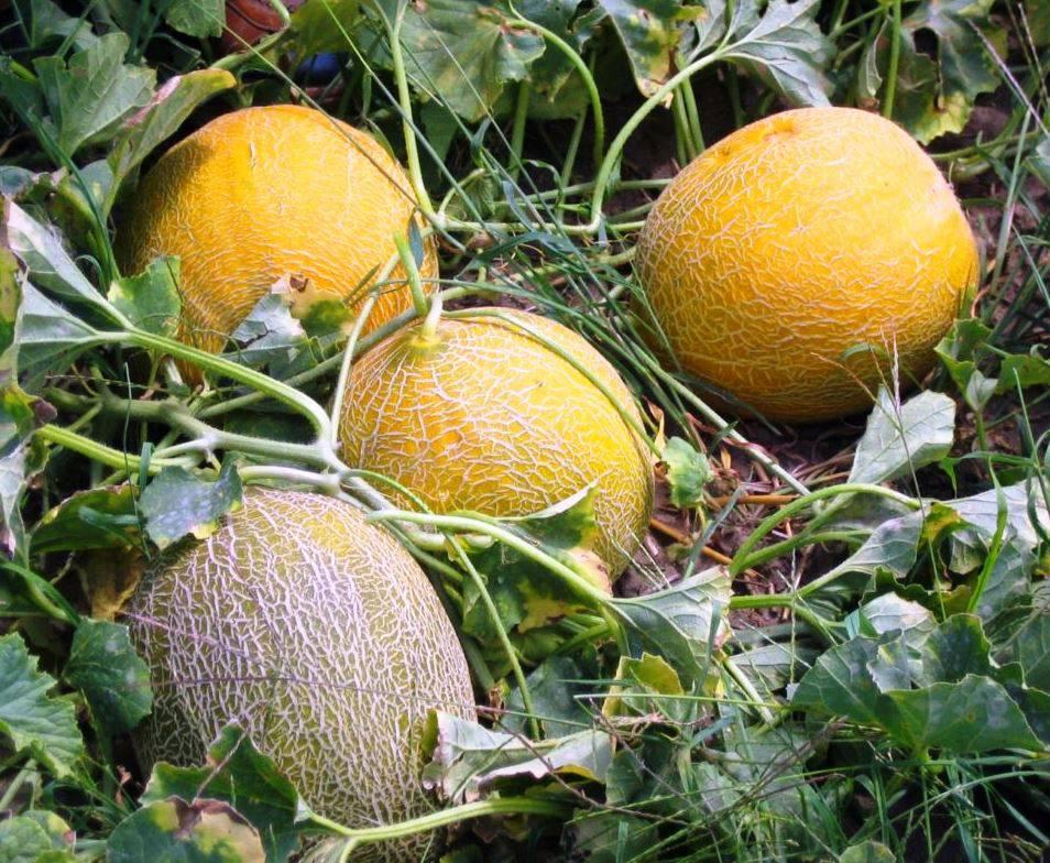 Выращивание дыни в средней полосе россии в открытом грунте и в теплице, посадка и уход за ней, выбор сорта