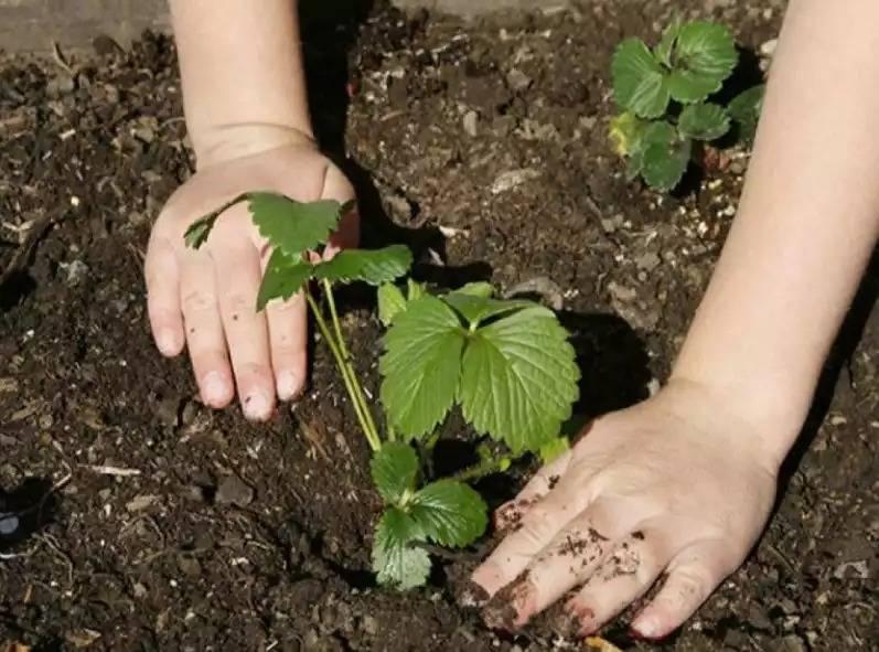 Когда пересаживать клубнику на новое место: весной, осенью или летом? 150 фото + видео рекомендации по пересадке