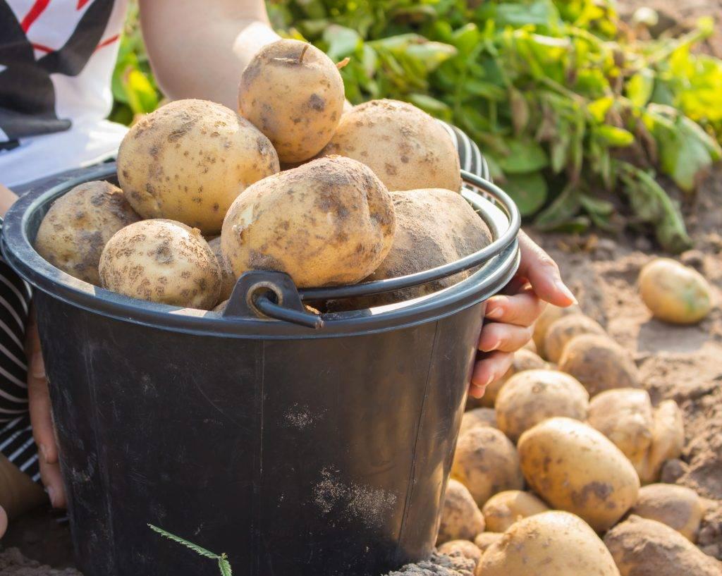 Картофель тимо ханккиян: фото, отзывы, описание сорта