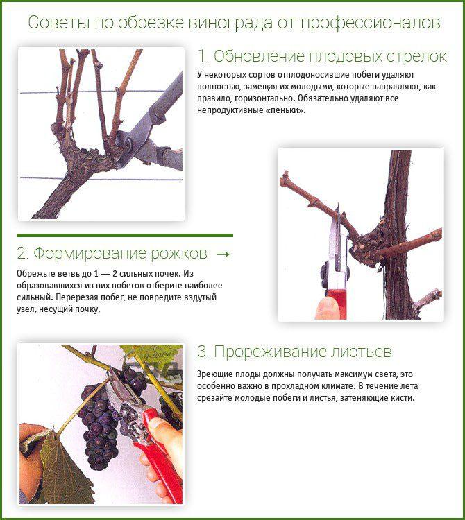 Почему не плодоносит виноград: причины и способы их устранения, что делать