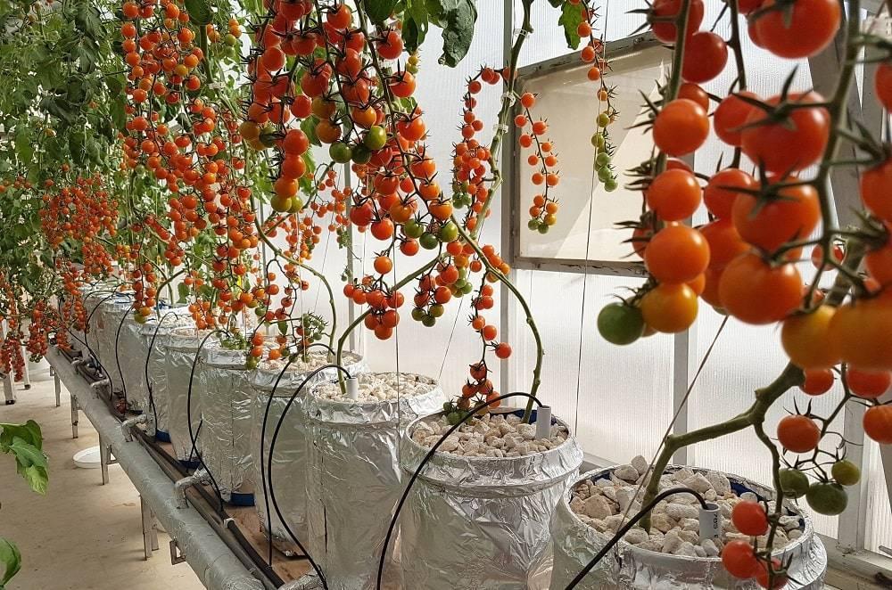 Выращивание томатов по голландской технологии - моё село