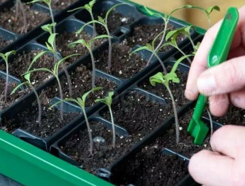 Выращивание рассады томатов: пошагово в домашних условиях