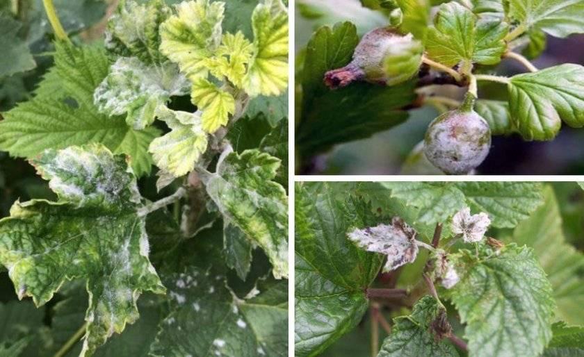 Мучнистая роса на кустах смородины: меры борьбы и профилактика