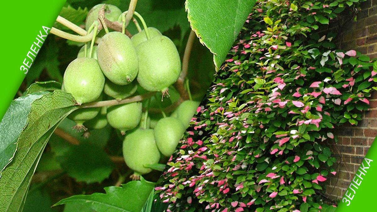 Выращивание актинидии в подмосковье, особенности посадки и ухода