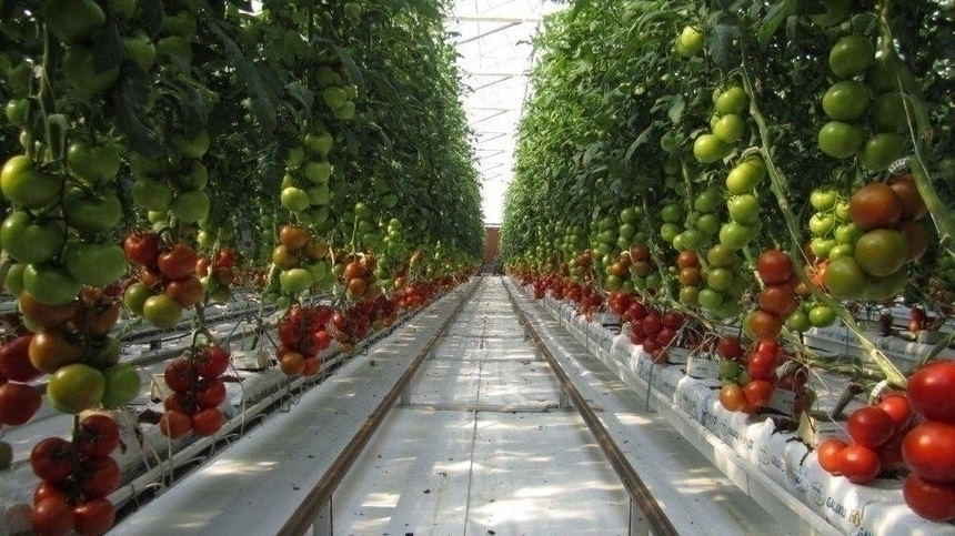 Выращивание томатов по китайской технологии: в чем суть, особенности и преимущества метода - огород, сад, балкон - медиаплатформа миртесен