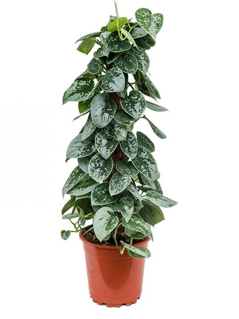 Сциндапсус, или тропическая декоративная лиана, в домашнем цветоводстве