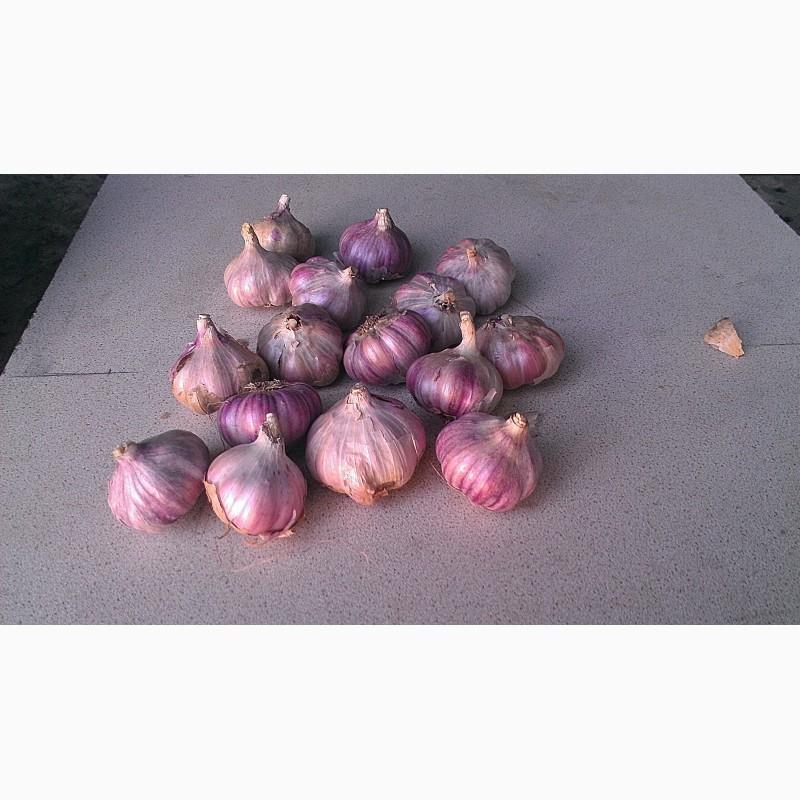 Описание чеснока сорта софиевский, его урожайность и выращивание - всё про сады