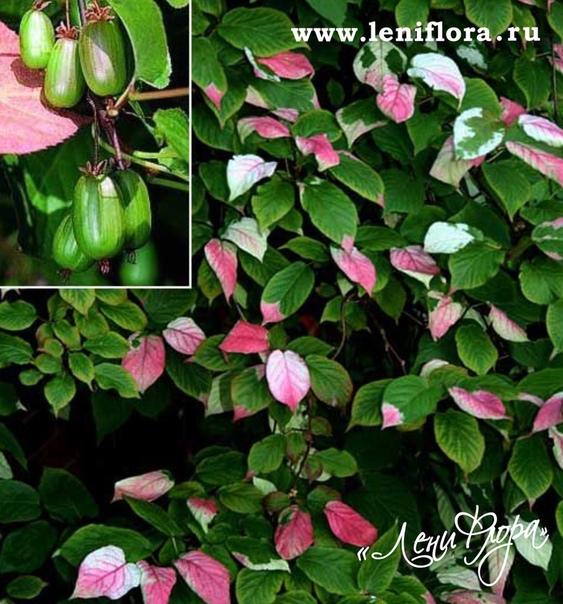 Актинидия: посадка и уход, правила выращивания растения, подготовка к зиме и обрезка