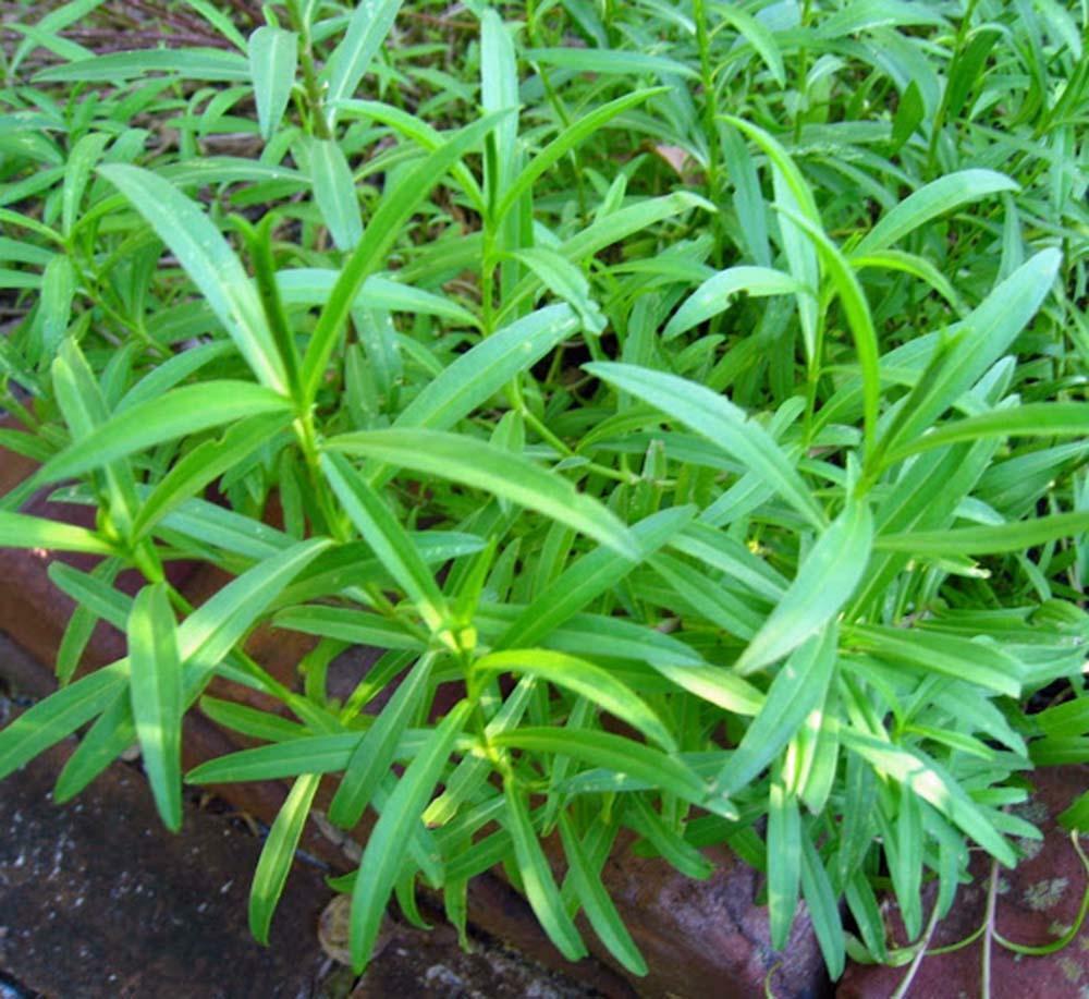 Выращиваем тархун. посев, уход, размножение эстрагона. фото — ботаничка.ru