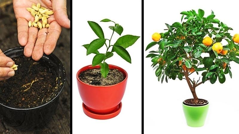 Как вырастить персик из косточки? — ботаничка.ru
