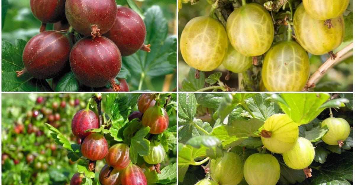 Сорта крыжовника: лучшие сорта для с названием и описанием выращивания