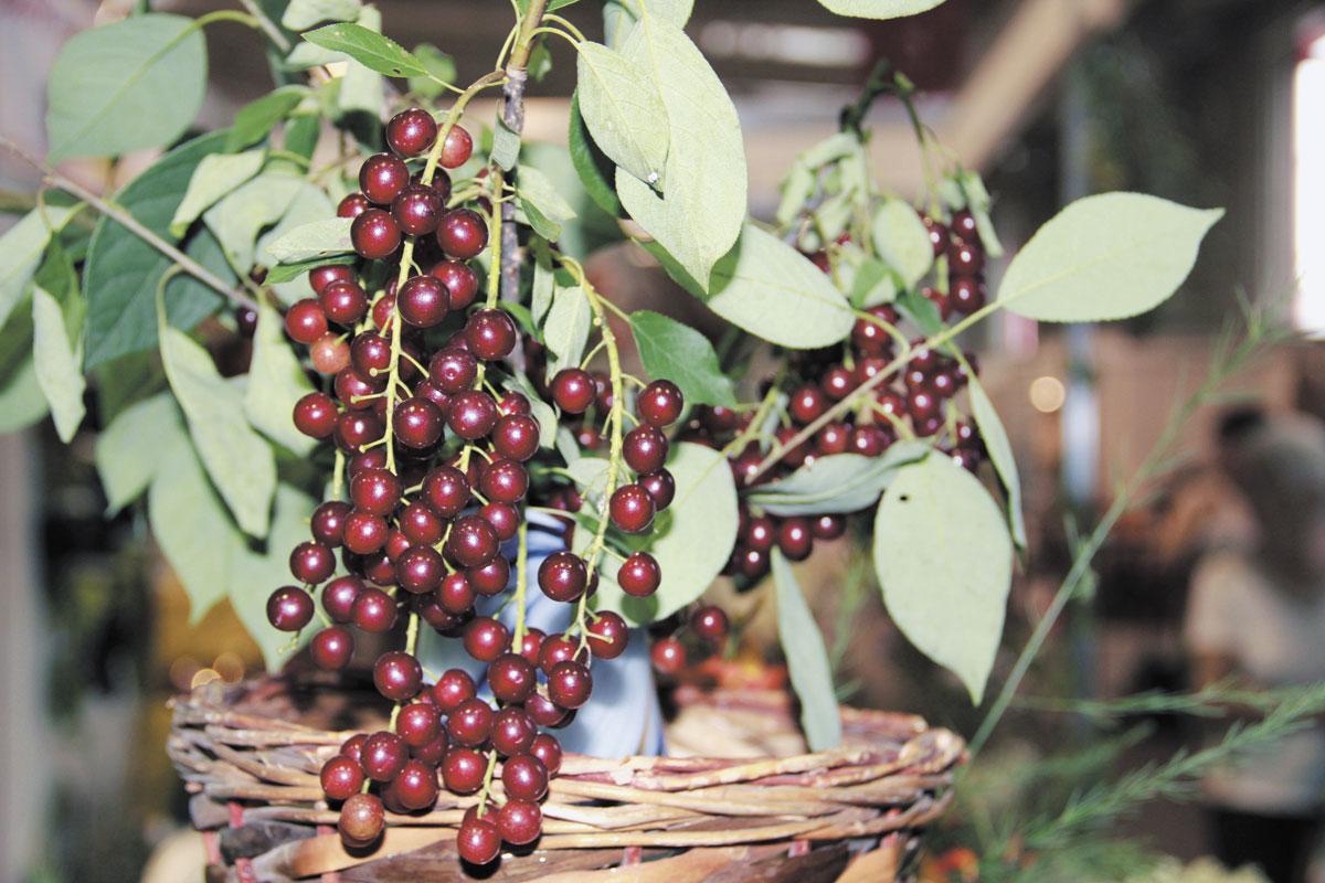 Гибрид вишни и черемухи: полезные свойства церепадуса, лучшие сорта, посадка и уход