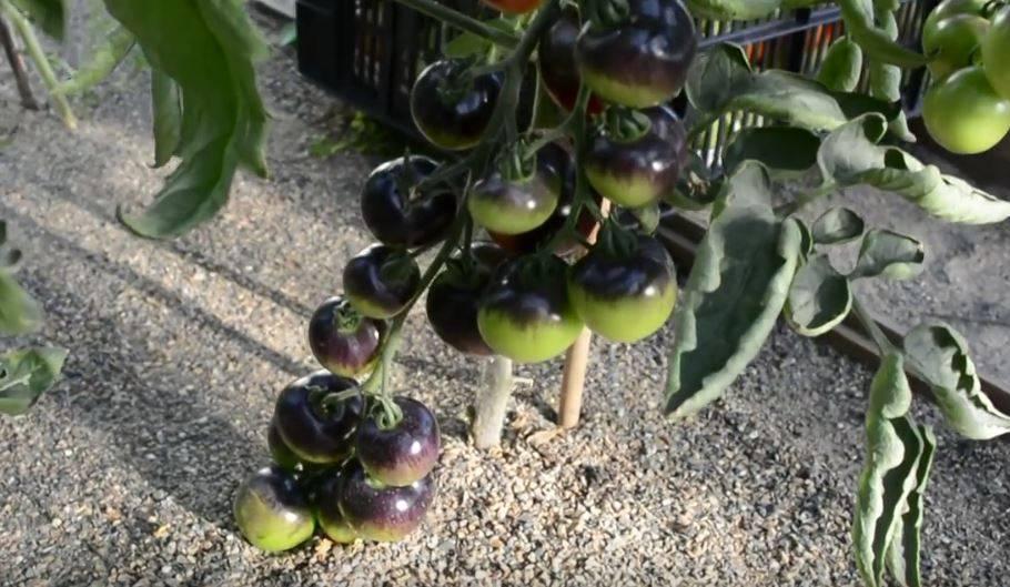 Томат с изумительным видом и неповторимым вкусом – черная гроздь f1. подробное описание и рекомендации