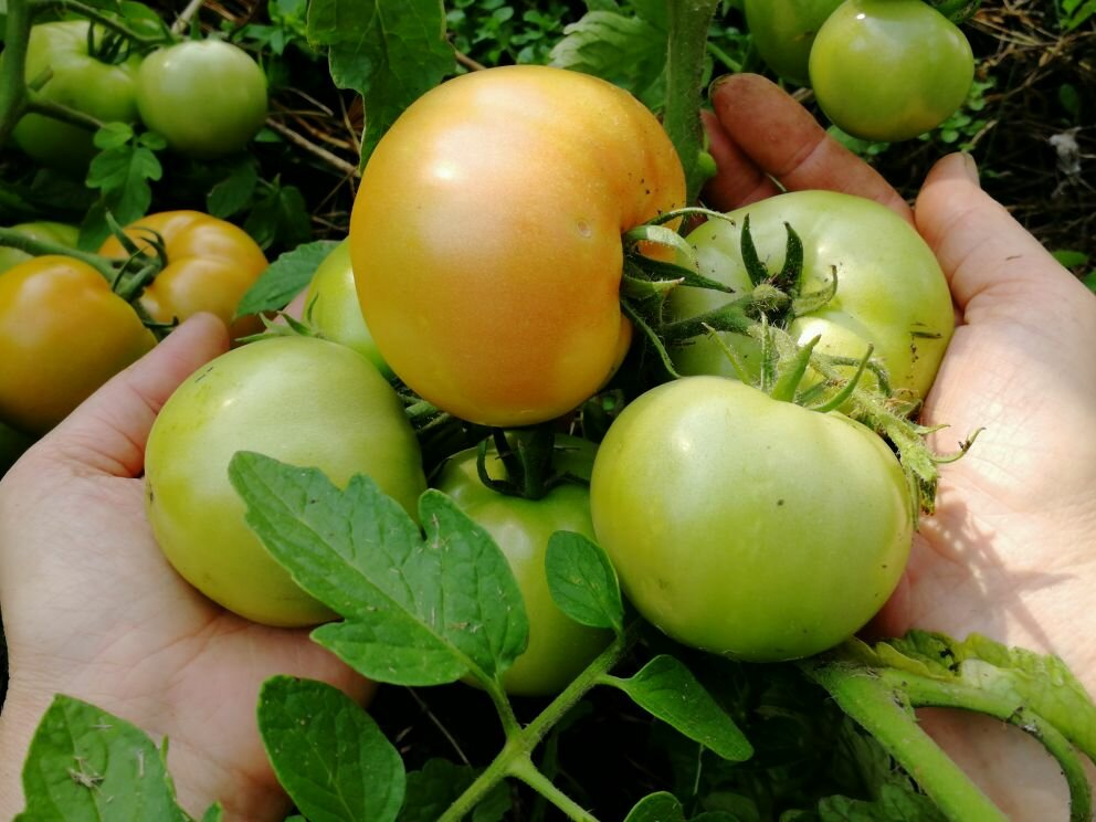 Томат булат: характеристика и описание сорта, урожайность с фото